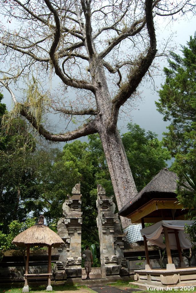 象洞前非常高的樹