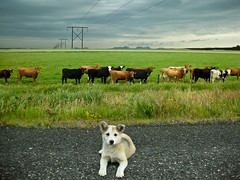 Country Dog (Elsa Prinsessa) Tags: dog white green nature grass cow iceland cows westmanislands electriclines elsaprinsessa elsabjrgmagnsdttir