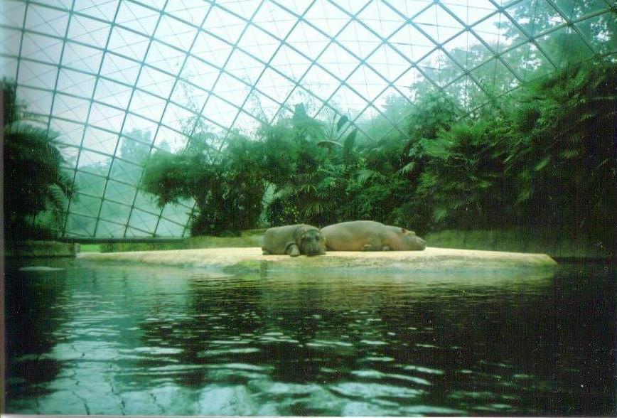 Flodhästar, Berlin Zoo