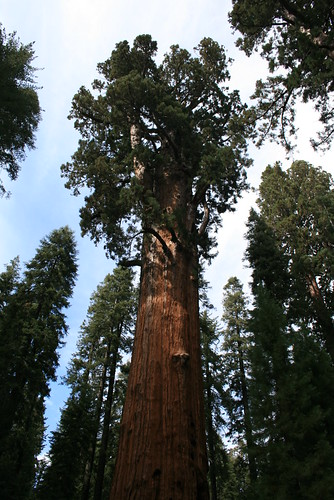 Giant Forest Sequoias