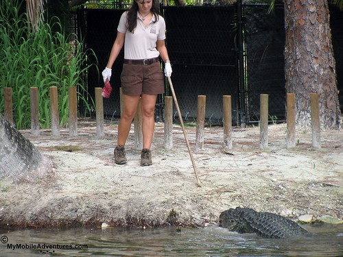 IMG_2101-Naples-Florida-zoo-gator-feeding-time