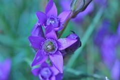 Gentiana pilosa (paolo-55) Tags: macro nikon gentiana d300 floraalpina 105mmvrmicronikkor