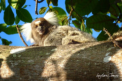 Sagui me encarando (Laylson) Tags: life nature colors interesting natureza explore mico quintal rvore interessante sagui explorar