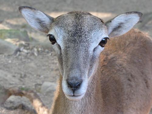 domestic sheep breeds