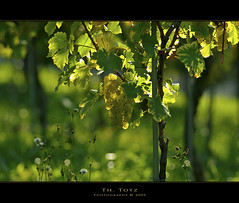 green and light (def110) Tags: light green germany licht wine grapes grn freiburg reben wein trauben lightroom d80 nikkor8020028 nikond80