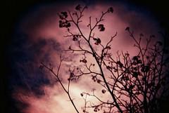 Creep (inf3ktion) Tags: tree fall film nature analog holga lomo xpro lomography crossprocess branches 100 dying fujichrome creep sensia 135bc