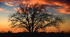 Texas Tree Silhouette (Jeff Clow) Tags: sunset tree silhouette twilight texas dusk dfw jeffrclow