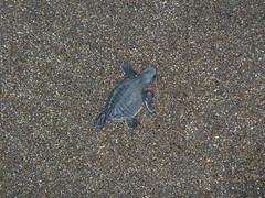 A baby turtle that had been released.