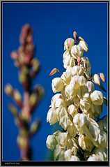 Yucca florint (vfr800roja) Tags: nikon yucca d700 tff1 updatecollection antonitorres