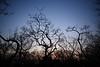 夕闇の枯木
