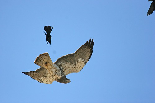 1blkbird hawk dave harper oakley