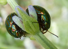 Pair of rosemary beetles (Photospool) Tags: red two west green london june thames river spring riverside pair south beetle stripe lavender sage rosemary americana thyme pest stripy 2011 chrysolina
