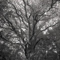 Eiche in der Elbaue (J.N.Waitzel) Tags: tree mamiya trix 55mm baum c330 sekor elbaue
