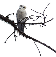 grey jay 127 (Cronopio?) Tags: bird ynp wy greyjay dunravenpass