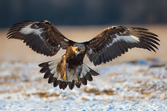 Golden Eagle (Mr F1) Tags: goldeneagle johnfanning bif birdsinflight bop birdsofprey raptor wings detail feathers flight flying wild outdoors nature snow ice cold