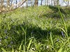 BLUEBELLS 20150422_112528 (Coventry City Council) Tags: coombecountrypark coombeabbey coventry