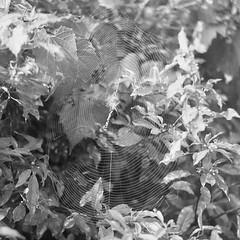 Not So Itsy Bitsy.... (BunnySafari) Tags: bw film yashicamat124g 120 ilford ilford400 spider spiderweb summer fpp shootfilm