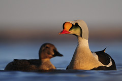 King eider pair (www.ryanaskren.com) Tags: canada site nikon couple wildlife pair ducks bull arctic research drake waterfowl nunavut kingeider eider d300 200400mm ryanaskren wwwryanaskrencom