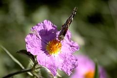 Pensate ancora che le farfalle siano bellissime? (luca301285) Tags: vanessa italy butterfly nikon italia marche farfalla ancona 55200 cardui d40 luca301285