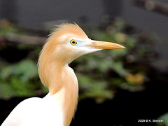 Cattle Egret..Another Portrait (K. Shreesh) Tags: india birds pune naturesfinest blueribbonwinner 50d supershot sarasbaug eos50d anawesomeshot impressedbeauty citrit ef400f56l goldstaraward vosplusbellesphotos thewonderfulworldofbirds