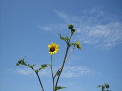 Coreopsis and sky