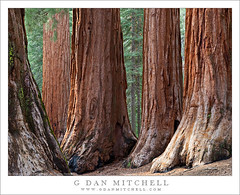 Five Sequoias, Mariposa Grove (G Dan Mitchell) Tags: california park travel light usa brown tree nature vertical forest landscape fire moss spring afternoon floor grove nevada stock scenic sierra foliage burn national bark yosemite massive trunk redwood mariposa scar base sequoia soe diffused sequoiadendrongiganteum wawona wellingtonia anawesomeshot induro