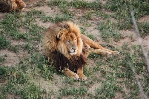 Male lion #1