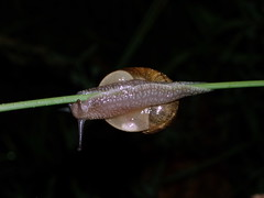 caracol (jacilluch) Tags: macro sol snail snails caracoles mollusca gastropoda caracol helixaspersa molusco moluscos platinumphoto anawesomeshot cornuaspersum theunforgettablepictures cryptomphalusaspersus univalvos cantareusaspersus