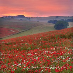 Dorset Poppies 2 (David Crosbie) Tags: sunset dorset poppy poppies fields wildflowers sailsevenseas
