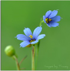 Blue Eyed Grass (Tracey Tilson Photography) Tags: blue flower green nature grass yellow 50mm nikon stamen eyed endangered nikkor simple eastern dainty sisyrinchium iridaceae easternblueeyedgrass d90 threatened thankyoukim