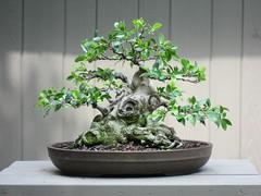 Ficus microcarpa sumo 7-26-09