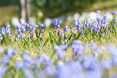 IMG_7590 Scilla sibirica. (HAKANU) Tags: flowers blue garden geotagged spring cabin colours sweden småland bulbs scilla summerhouse växjö springtime flickraward flickrestrellas funfanphotos