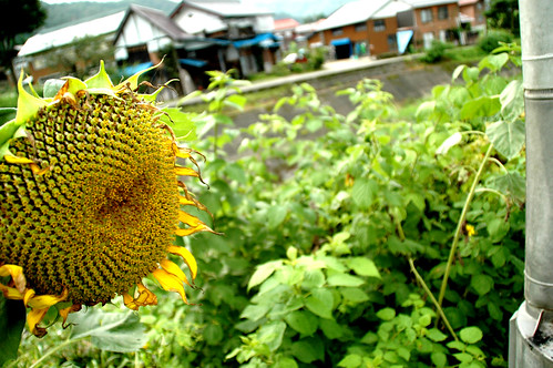 Stray Sunflower