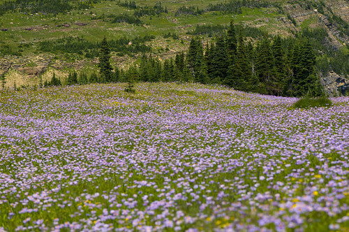 Glacier Wildflowers 2