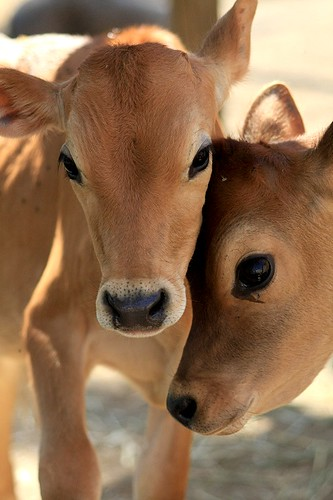 Calf cuteness attack
