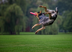 Flight Training (PhotoAbuse) Tags: pet pets dogs animals fun nikon frisbee gapersblock cantignypark jefflynch