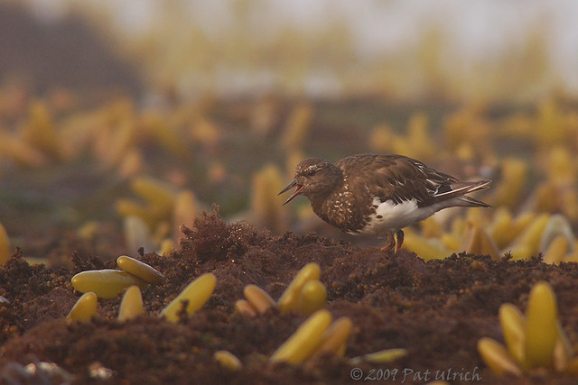 Black turnstone in the intertidal zone at Pillar Point - Pat Ulrich Wildlife Photography