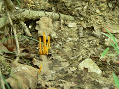 Sinking Creek Mountain - Spindle Shaped Yellow Coral