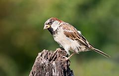 Spatz - Sparrow (Klaus1953) Tags: bird wildlife sparrow vogel spatz klaus1953 natureselegantshots