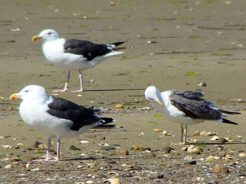 LESSER BLACK BACKED GULL sony
