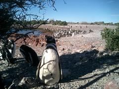 Pinguinos Magallanicos en Punta Tombo