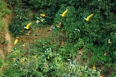 Flight of the Rainbow (howvin) Tags: bird peru amazon parrot jungle macaw claylick tambopatariver