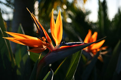 Bird of Paradise, Airlie Beach
