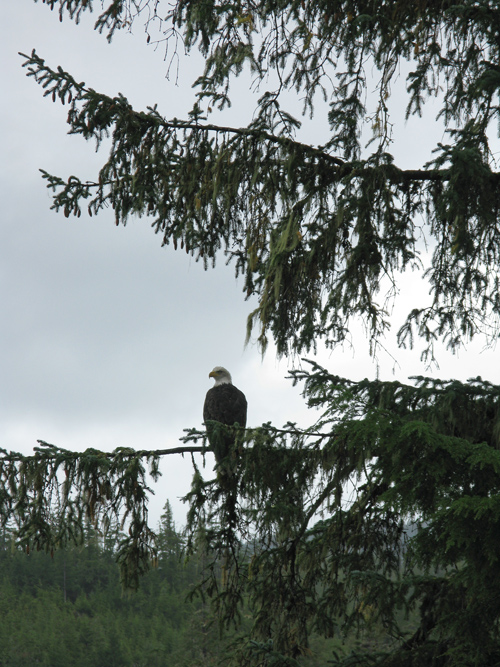 bald eagle on a tree limb, Tolstoi Bay, Alaska