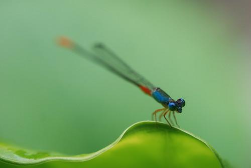 停留在荷叶上的蜻蜓