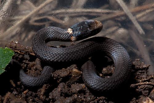 Ring-neck snakes