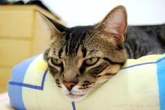 So tired (Kitty & Kal-El) Tags: pet cat feline gato felino kalel
