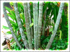 Ptychosperma macarthurii (Cluster Palm, Macarthur Palm): close-up of clustered trunks at the base