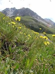 Flora al Rifugio V Alpini in Val Zebrù - Parco Nazionalde dello Stelvio