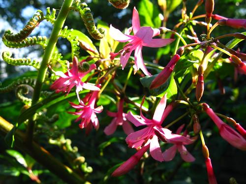 Fuchsia 'Miep Aalhuizen'